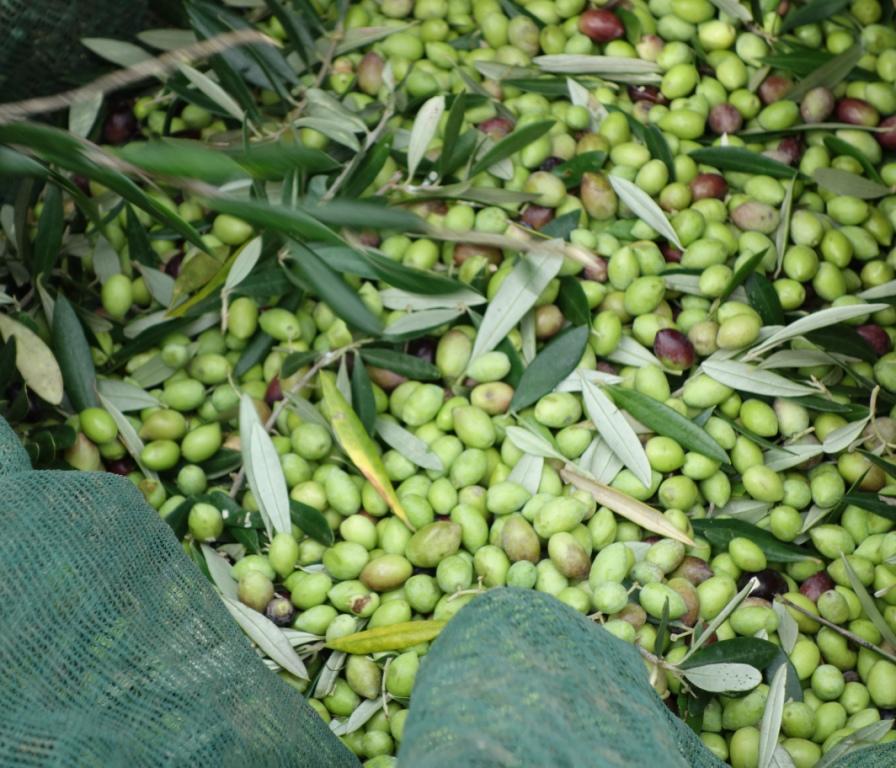 Olivensorte Qualität